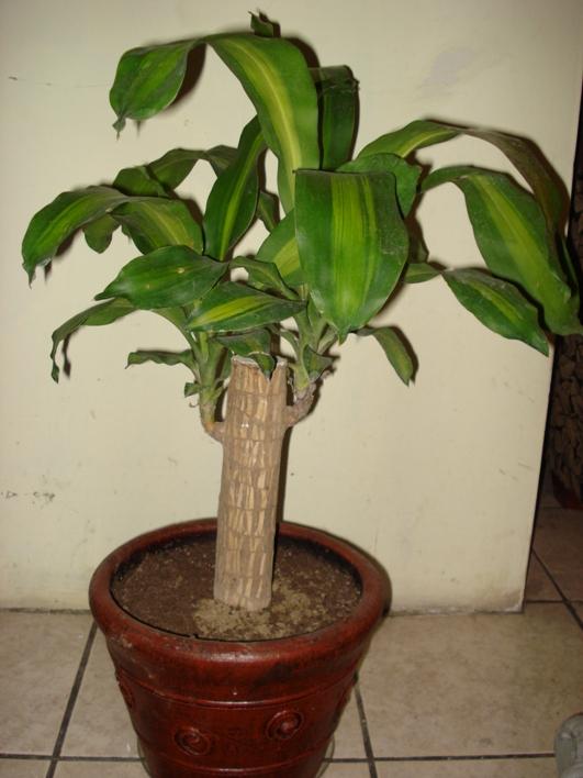 Fotos de palo de brasil y pata de elefante en problemas - Imagenes de plantas de interior ...