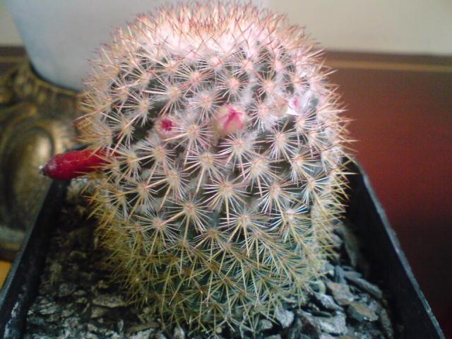 Cuanto demora un cactus en germinar - Infojardin cactus ...