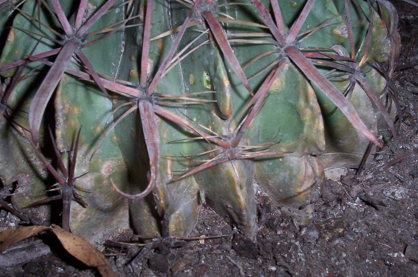Ayuda con ferocactus for Feroxcactus chile