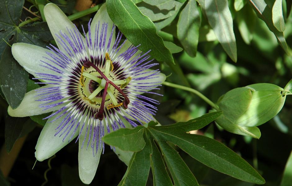 Se buscan fotos de P. caerulea Bfi1211136239w