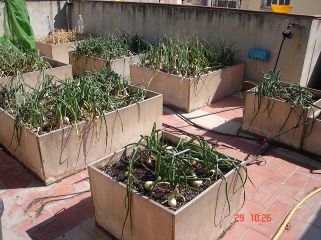 como cultivar cebollas en maceta........ Jdv1209945041s