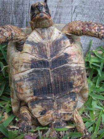 Como determinar el sexo de tu tortuga - Info - Taringa!