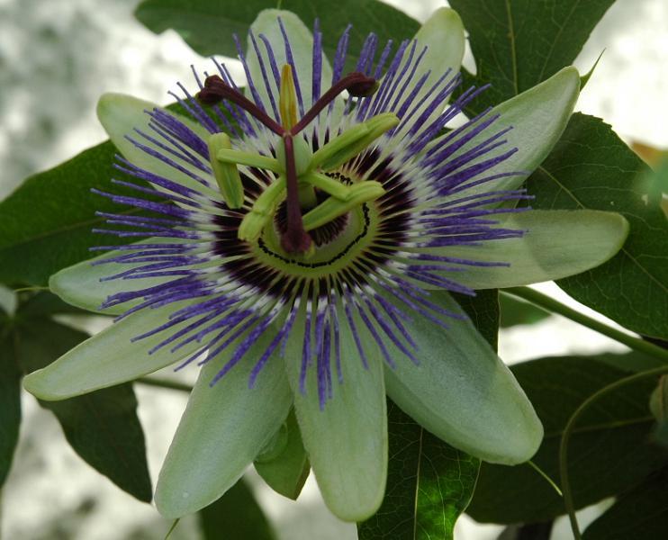 Se buscan fotos de P. caerulea Viu1211136171j
