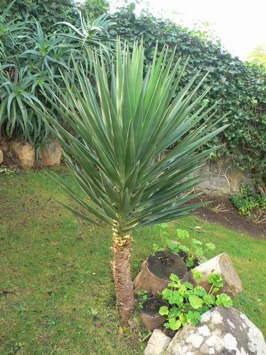 Cordyline australis foto consejos y distinguir de yucas y otras - Yuca infojardin ...