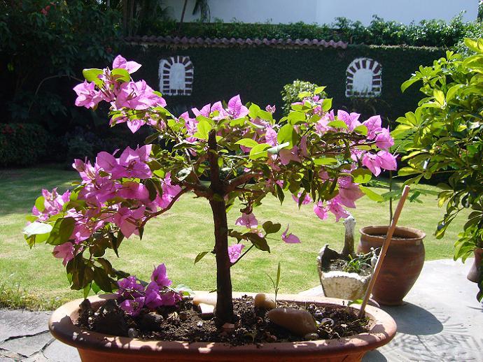 Cambio de tierra para bouganvilla - Tierra para bonsais ...