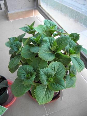 Transplante de una hortensia que compr en maceta peque a - Cuidado de hortensias en maceta ...