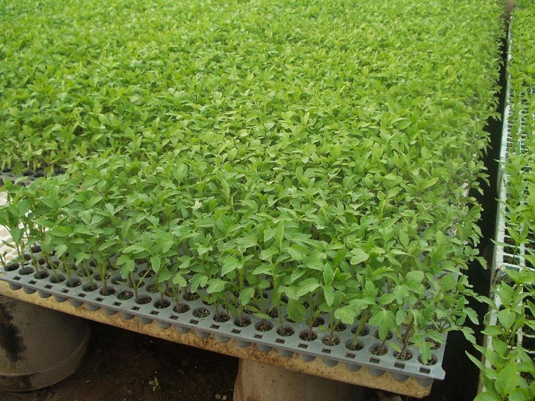 Fotos de mi vivero con semilleros en invernadero for Viveros salamanca