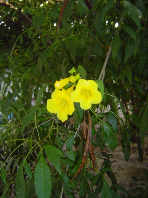 Los nombres de rboles arbustos y sus flores images frompo - Nombres de arbustos ...