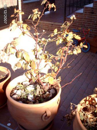 Poda de rosal cu l es la poca ideal - Poda de hortensias epoca ...