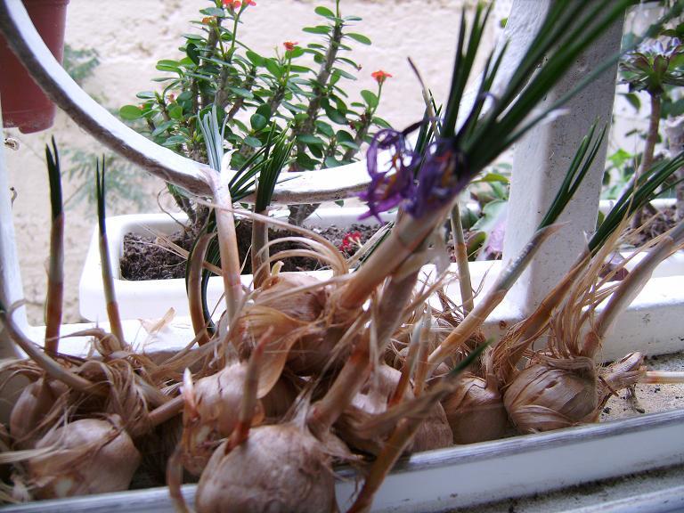 C mo conseguir semillas de azafr n son f ciles de plantar - Como cultivar azafran ...