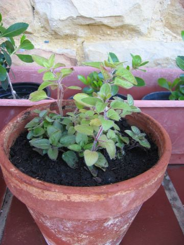 Sugerencias de qu plantas arom ticas plantar en un parterre - Plantar hierbas aromaticas ...