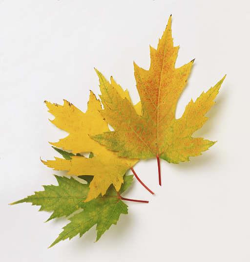 Arce Que Aparece En La Bandera De Canadá Qué Especie Es