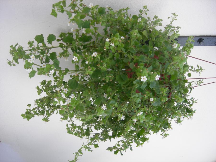 Planta colgante flores peque as y blancas - Plantas pequenas de interior ...