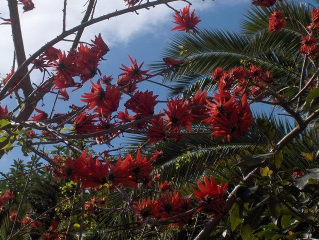 Conoceís este árbol de flores rojas? - Foro de InfoJardín