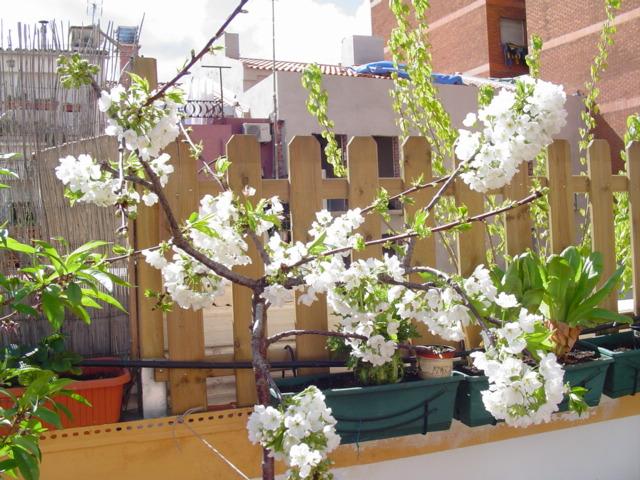Cerezo en terraza tiene ramas que se est n secando - Arboles terraza ...