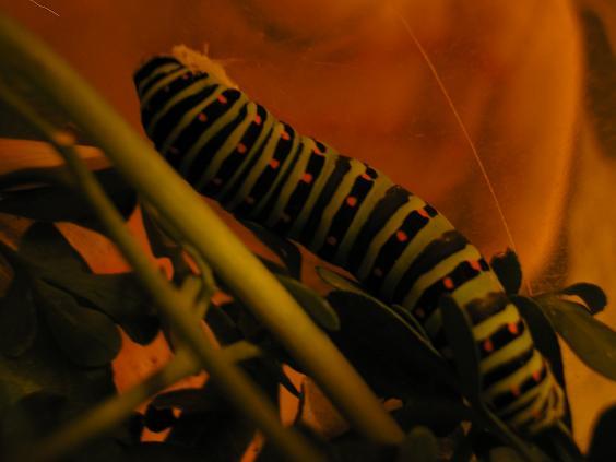 identificar este gusano.... - Foro de InfoJardín