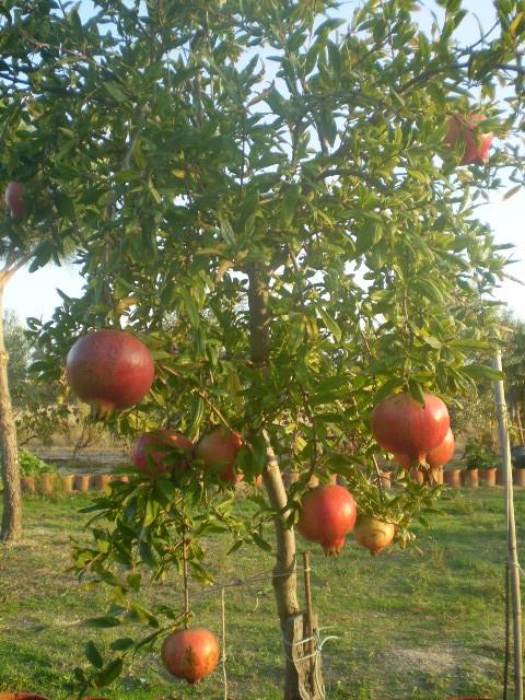 Muestra tu fruta! - Página 3 - Foro de InfoJardín