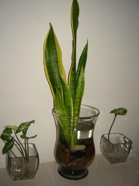 Plantas que viven s lo en agua for Plantas para estanques de agua fria