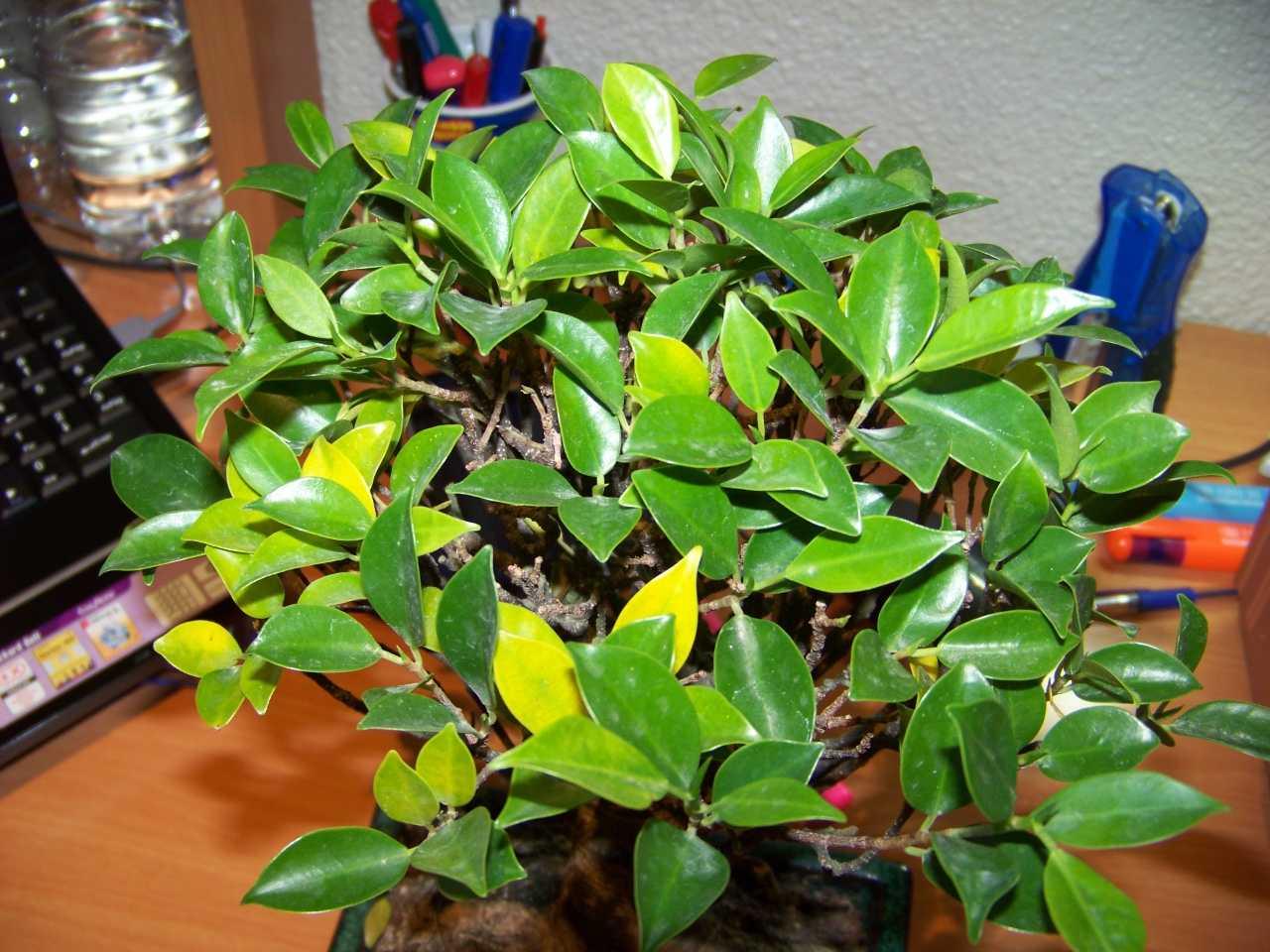 ficus retusa hojas amarillas:
