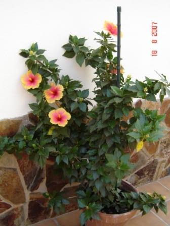 Poda de los hibiscus poca - Poda de hortensias epoca ...