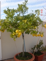 Frutal en maceta qu frutal se da bien aparte del limonero - Limonero en maceta ...