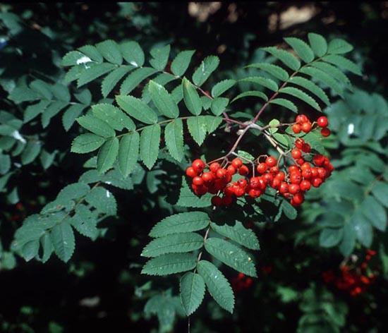 Бисероплетение деревья рябина - Делаем фенечки своими руками.